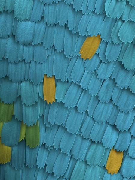 Grating Wall Art - Photograph - California Pipevine Swallowtail Butterfly Wing Scales by Karl Gaff / Science Photo Library
