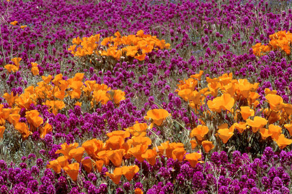 Wall Art - Photograph - California Poppies And Red Owl Clover by Brenda Tharp