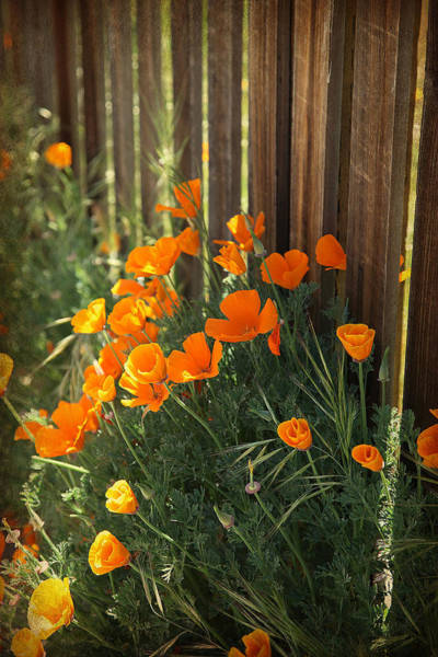 Photograph - California Poppies by Portraits By NC