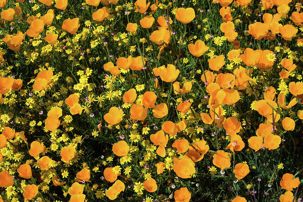 Biennial Photograph - California Poppies Eschscholzia by Panoramic Images