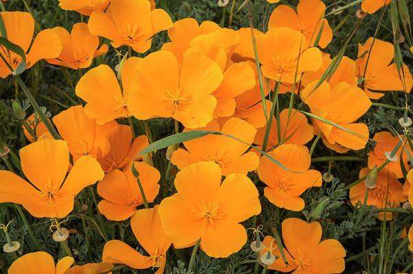Montana De Oro State Park Photograph - California Poppies In Montana De Oro by Rob Sheppard
