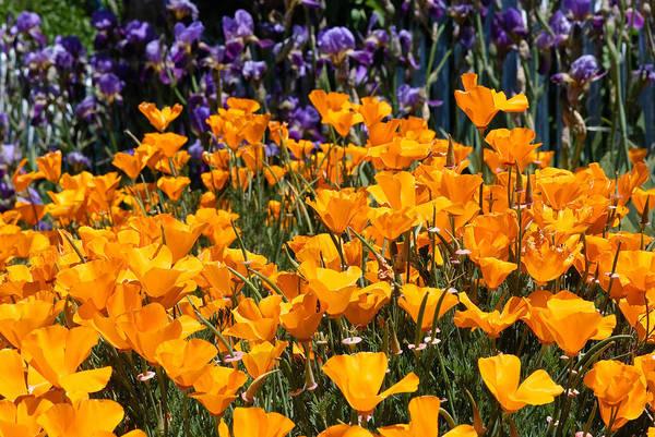 California Poppy Photograph - California Poppies by Joseph Smith