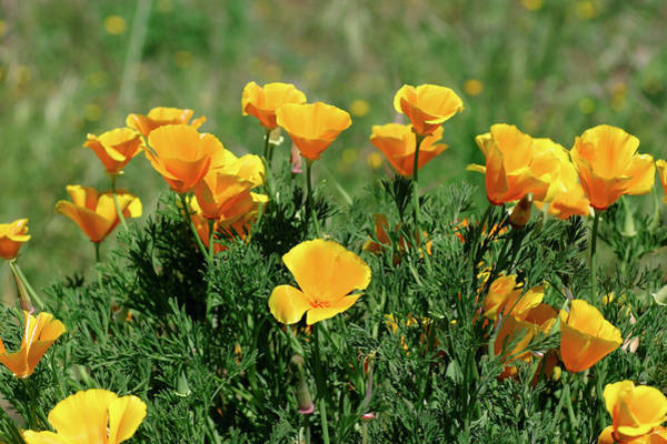 Introduced Species Photograph - California Poppies by Michael Szoenyi/science Photo Library