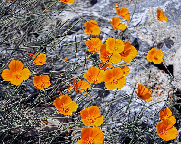 Photograph - California Poppies by William Havle