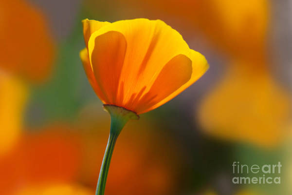 Photograph - California Poppy by Dennis Flaherty