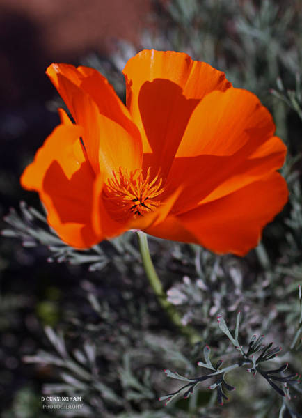 Photograph - California Poppy by Dorothy Cunningham