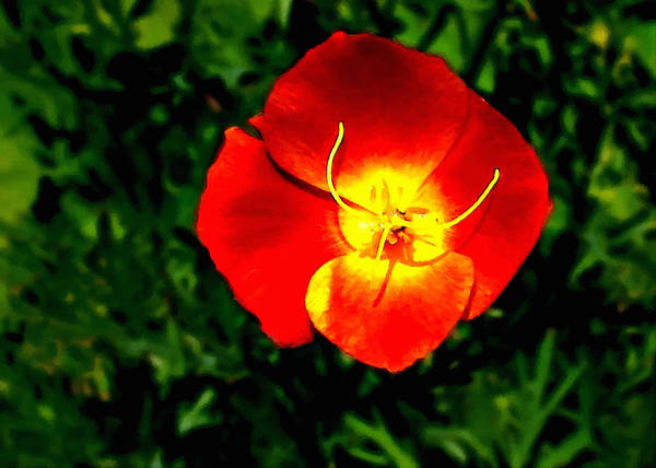 Painting - California Poppy by Bob and Nadine Johnston