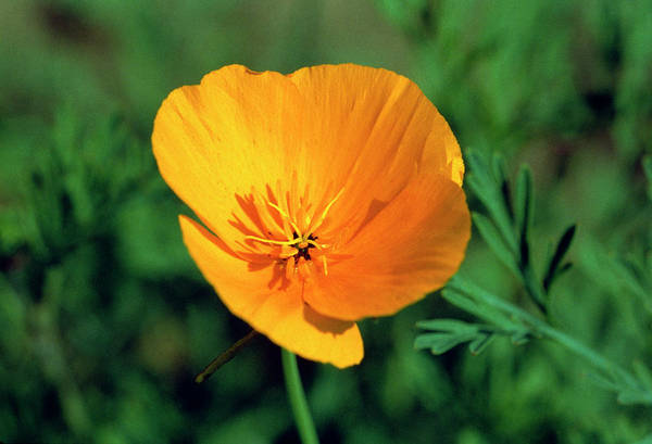 Medicinal Photograph - California Poppy by Th Foto-werbung/science Photo Library