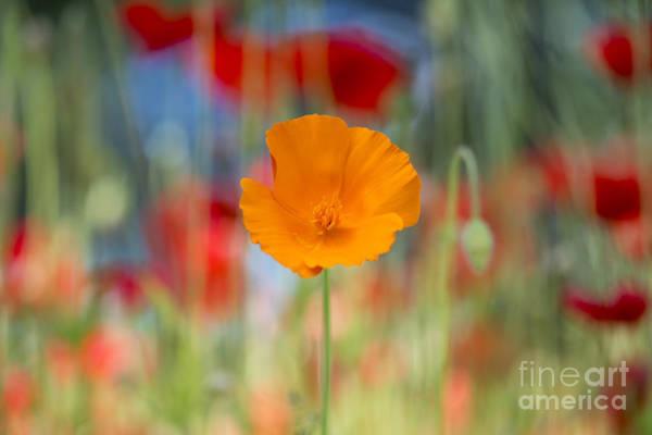 Dof Photograph - California Poppy by Tim Gainey