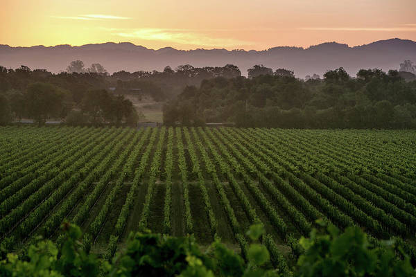 Sonoma Photograph - California Prepares For 2014 Grape by George Rose