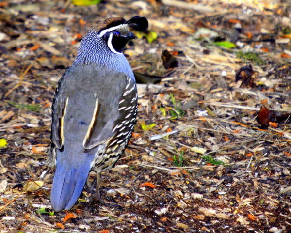 Photograph - California Quail by AJ  Schibig