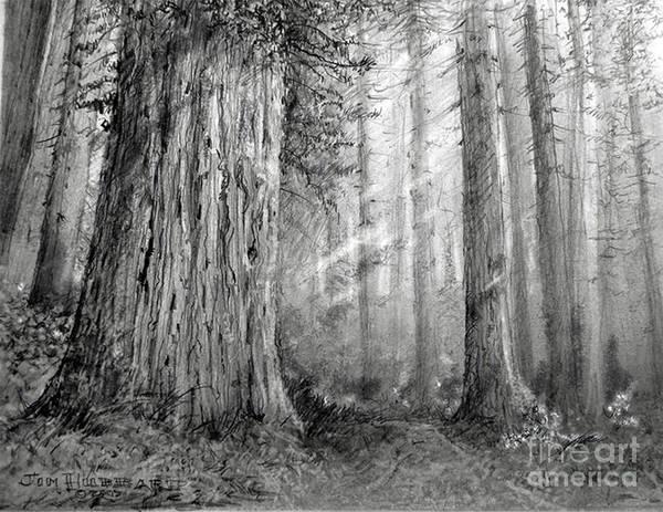 Wall Art - Drawing - California Redwood by Jim Hubbard