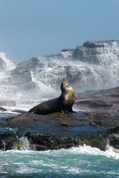 Sea Of Cortez Photograph - California Sea Lion Basking by Christopher Swann/science Photo Library