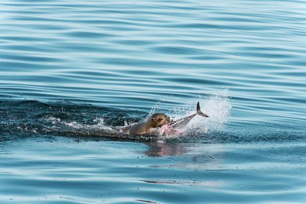 Sea Of Cortez Photograph - California Sea Lion Feeding by Christopher Swann/science Photo Library