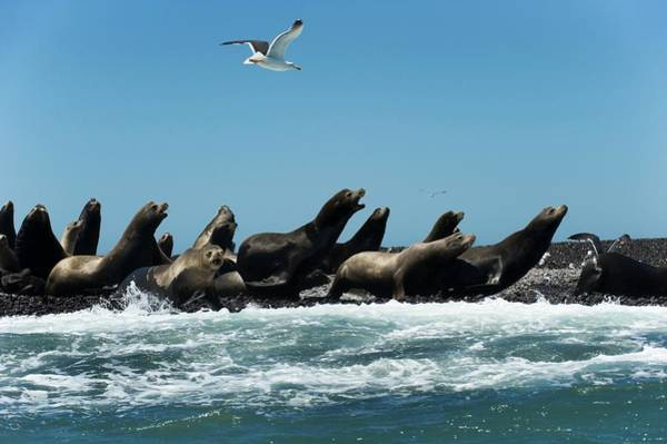 Sea Of Cortez Photograph - California Sea Lions by Christopher Swann