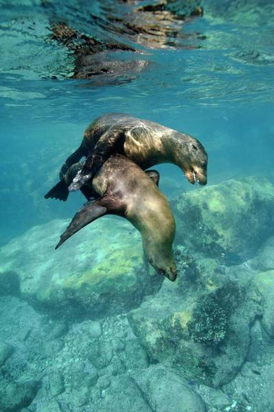 Sea Of Cortez Photograph - California Sea Lions In Shallow Water by Christopher Swann