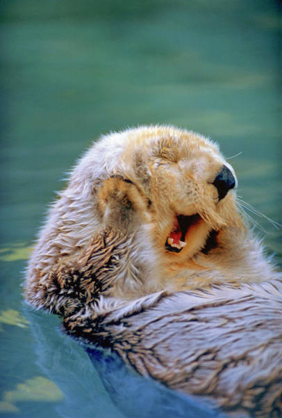 Wall Art - Photograph - California Sea Otter Floating Face Up by Stuart Westmorland