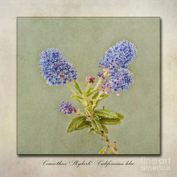 Wall Art - Photograph - Californian Lilac by John Edwards