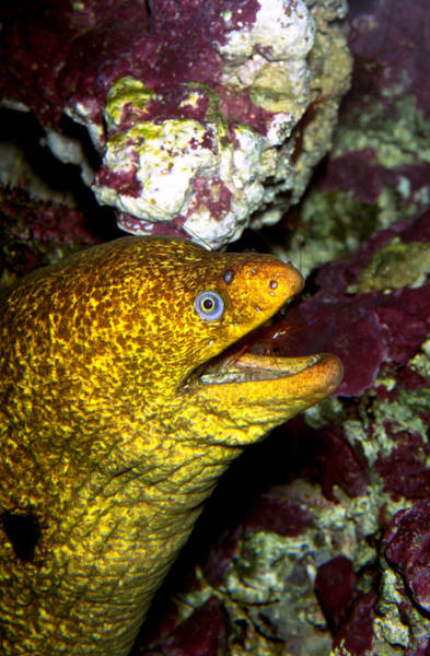 Wall Art - Photograph - Californian Moray Eel With Red Rock by Greg Ochocki
