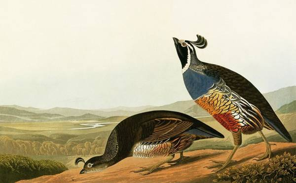 Moorland Photograph - Californian Quail by Natural History Museum, London/science Photo Library