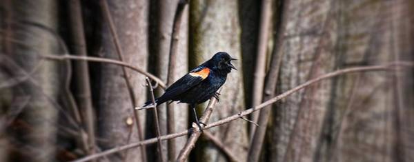 Red-winged Blackbird Wall Art - Photograph - Call Of The Red Winged Blackbird by Henry Kowalski