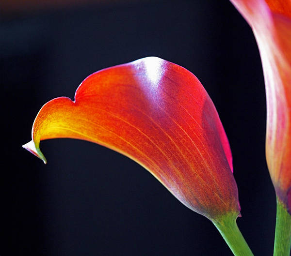 Photograph - Calla Colors And Curves by Rona Black
