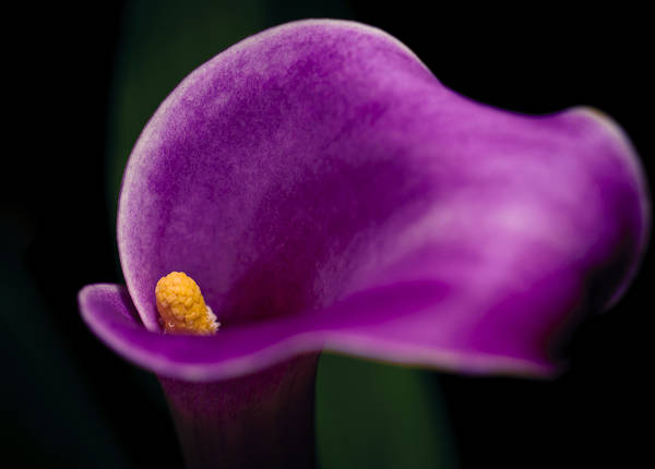Photograph - Calla Curves by Christi Kraft