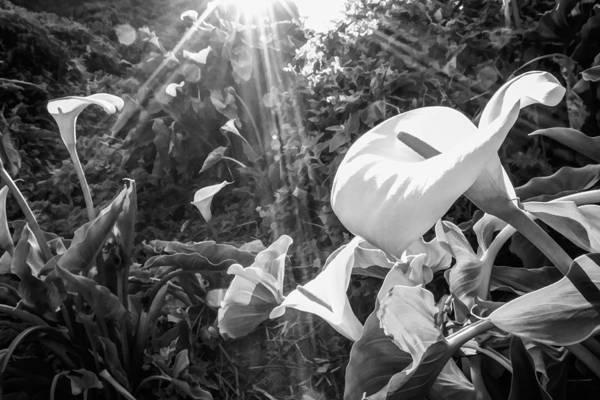 Photograph - Calla Lilies And Sun Rays by Priya Ghose