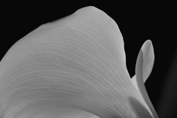 Photograph - Calla Lilly 11 by Ron White