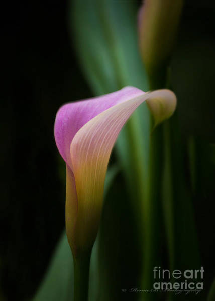Photograph - Calla Lilly by Rima Biswas