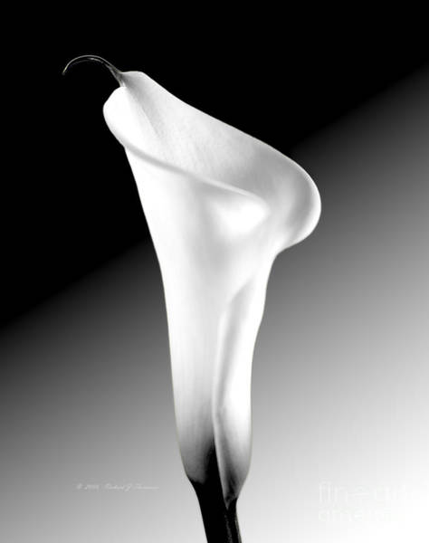 Photograph - Calla Lily Bw by Richard J Thompson