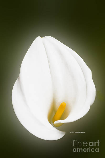 Photograph - Calla Lily Flower Glow by Richard J Thompson