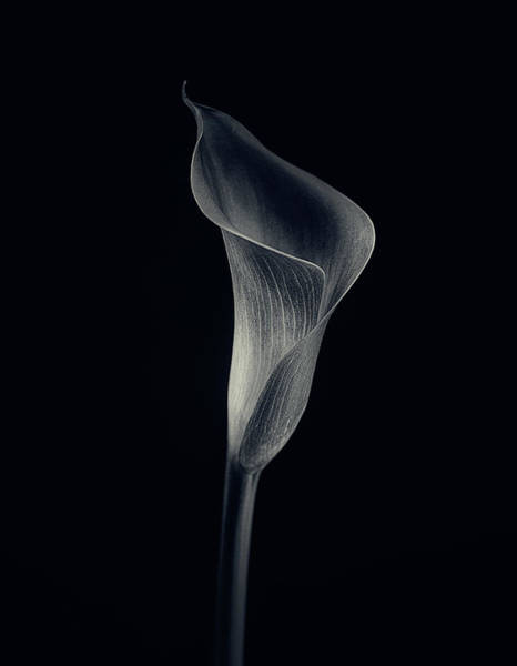 Simple Wall Art - Photograph - Calla Lily by Lotte Gr?nkj?r