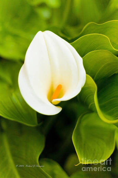 Photograph - Calla Lily Plant by Richard J Thompson