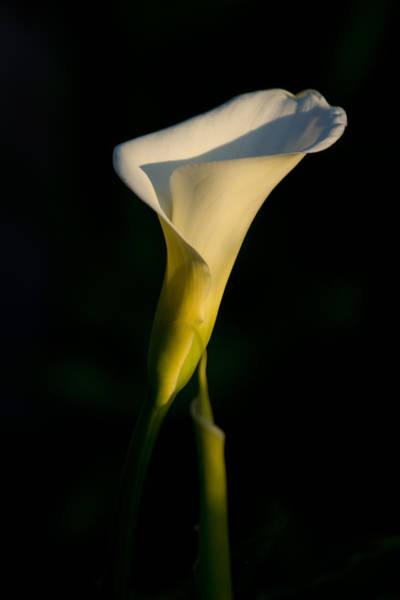 Photograph - Calla Lily by Priya Ghose