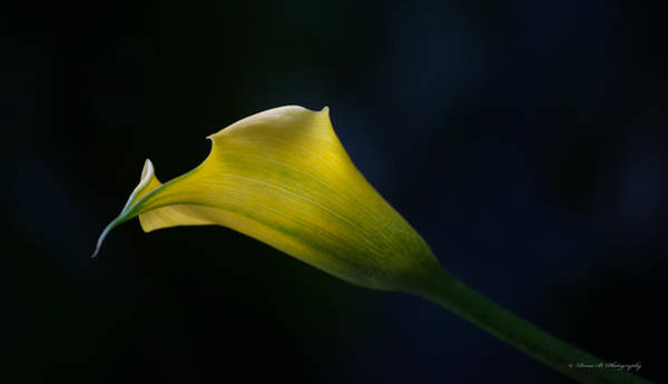 Photograph - Calla Lily by Rima Biswas