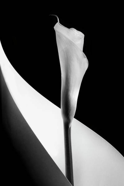 Contrast Wall Art - Photograph - Calla Lily by Stephen Clough