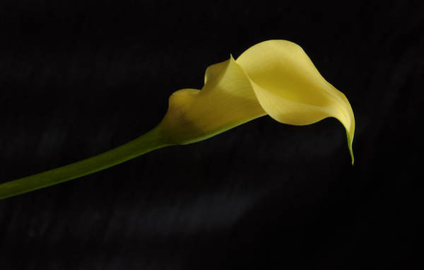 Calla Lily Yellow II Art Print