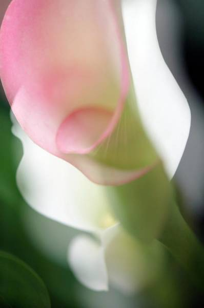Calla Lilies Photograph - Calla Lily (zantedeschia Aethiopica) by Maria Mosolova/science Photo Library