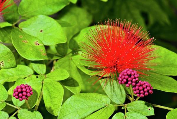 Angiosperm Photograph - Calliandra Emarginata In Flower by K Jayaram