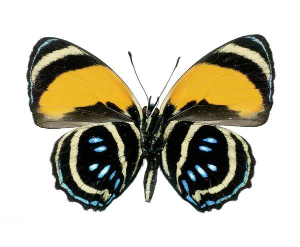 Wall Art - Photograph - Callicore Aegina Butterfly by Lawrence Lawry