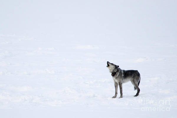 Howling Photograph - Calling Home by Deby Dixon