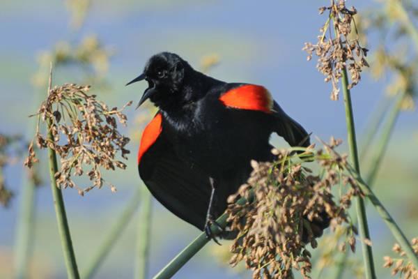 Photograph - Calling Redwing by Bradford Martin