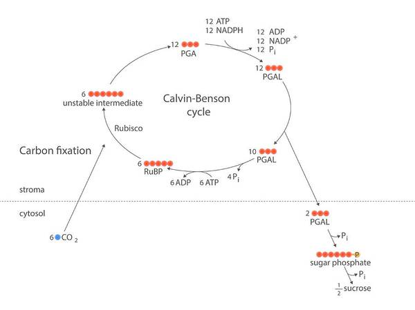 Wall Art - Photograph - Calvin-benson Metabolic Cycle by Science Photo Library