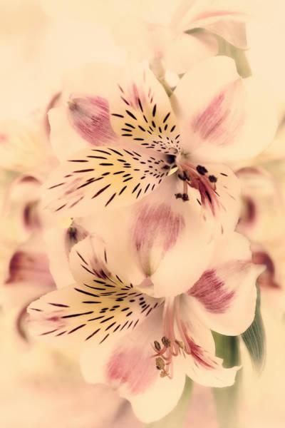 Alstroemeria Photograph - Calypso by Darlene Kwiatkowski
