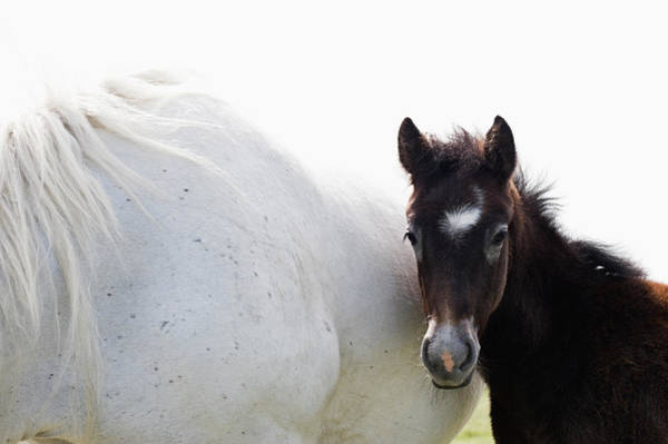 Horse Photograph - Camargue Horse And Foal by Franz Aberham
