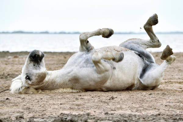 Adapted Photograph - Camargue Horse by Dr P. Marazzi