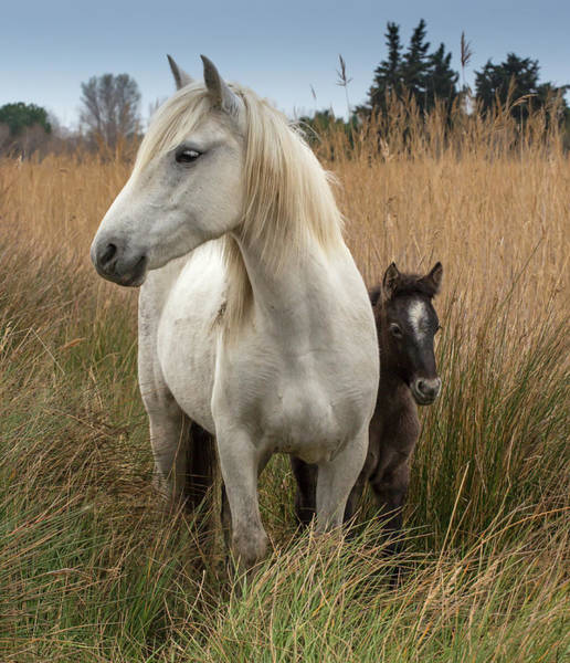 Mare Photograph - Camargue Horse With Foal, France by Images From Barbanna