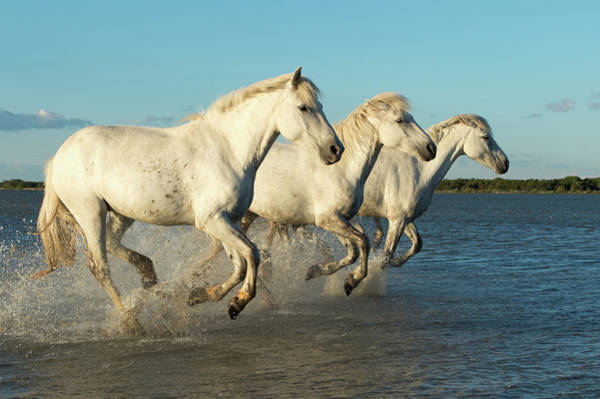 Adapted Photograph - Camargue Horses by Dr P. Marazzi/science Photo Library