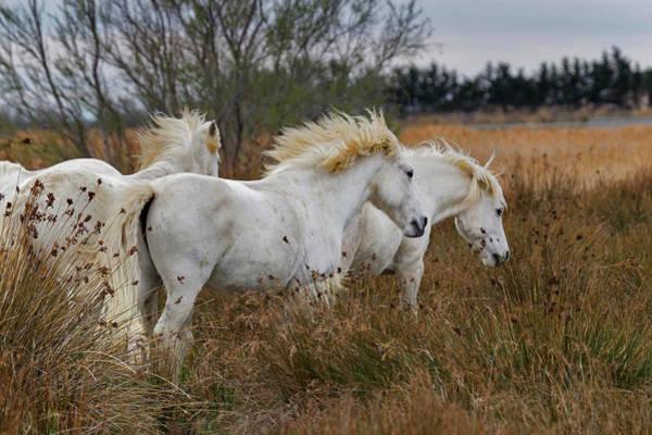 Wall Art - Photograph - Camargue Horses In Field, Southern by Adam Jones